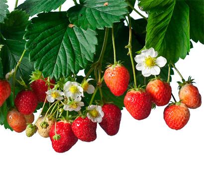 Erdbeere Auf Dem Balkon : Erdbeer ampel hummi dehner garten center