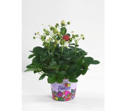 erdbeeren pflege erdbeeren pflege pflanzen d ngen und. Black Bedroom Furniture Sets. Home Design Ideas