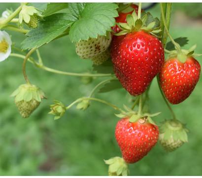 Erdbeere 'Elan'