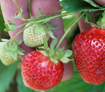 Erdbeere 'Erdbeerwiese', 8er Schale