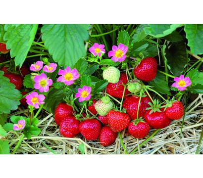 Erdbeere 'Hummi® Merosa'