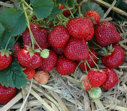 Erdbeere 'HUMMI®-Silva', 8er Schale