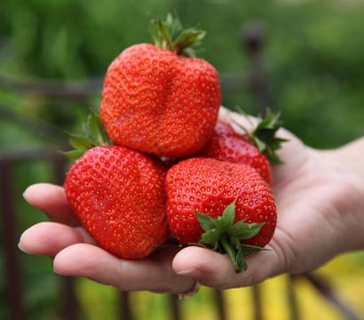 Erdbeere 'Sweet Mary XXL', 8er Schale