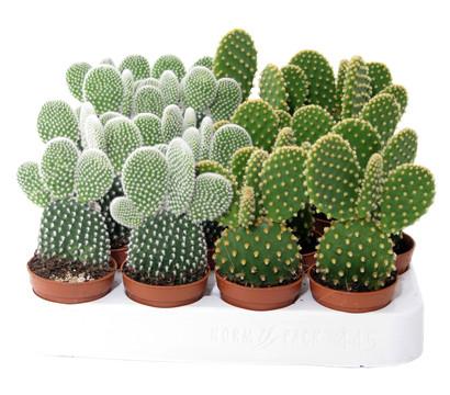 Feigenkaktus dehner garten center - Kaktus zimmerpflanze ...