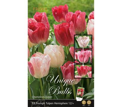 Florex Blumenzwiebel Triumph Tulpen Hemisphere