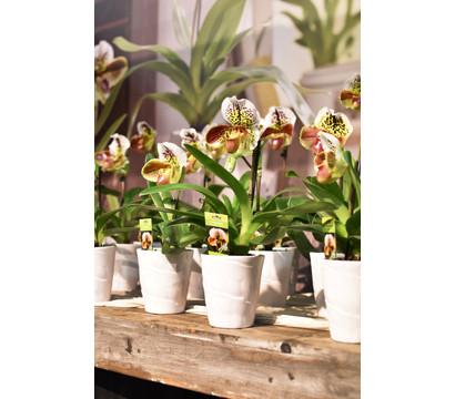 frauenschuh orchidee dehner garten center. Black Bedroom Furniture Sets. Home Design Ideas
