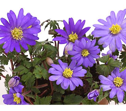 Frühlings-Anemone - Strahlen-Anemone, blau
