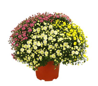 garten chrysantheme 39 trio 39 dehner garten center. Black Bedroom Furniture Sets. Home Design Ideas