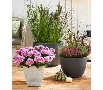garten chrysantheme dehner garten center. Black Bedroom Furniture Sets. Home Design Ideas