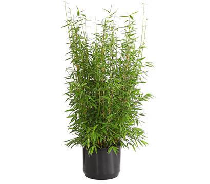 Gartenbambus 'Brillant'