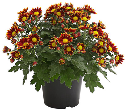 Garten-Chrysantheme, Sonderfarben