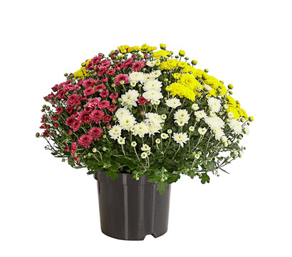 Garten-Chrysantheme 'Trio'