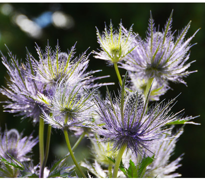 Garten-Mannstreu - Edeldistel 'Big Blue'