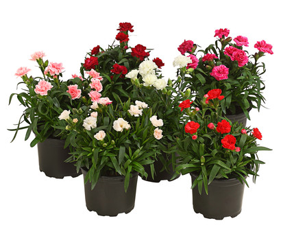 Gartennelke, verschiedene Sorten