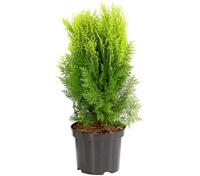 Gelber Zwerg-Lebensbaum 'Aurea Nana'