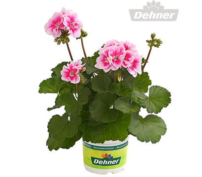 Geranie besonderheit stehend dehner garten center for Halbschattige balkonpflanzen