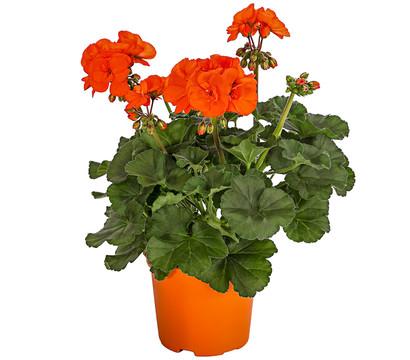 Geranie, orange