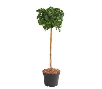 Ginkgobaum - Fächerblattbaum