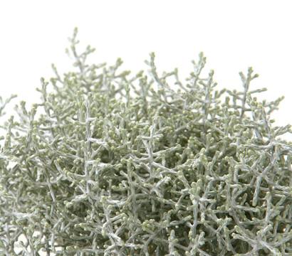 Gitterkraut stacheldraht silberkraut dehner garten for Silberdraht kaufen