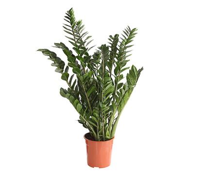 Gl cksfeder dehner garten center - Schattige zimmerpflanzen ...