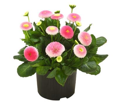 Gänseblümchen 'Erdbeersahne', gefüllt