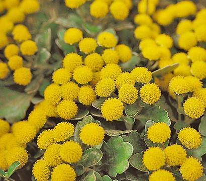gold und silber chrysantheme silberrand chrysantheme dehner garten center. Black Bedroom Furniture Sets. Home Design Ideas