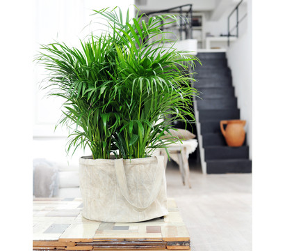 goldfruchtpalme dehner garten center. Black Bedroom Furniture Sets. Home Design Ideas