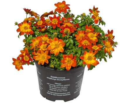 Goldmarie, orange