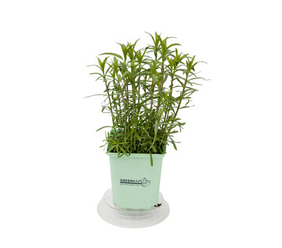 GREENBAR® Estragon