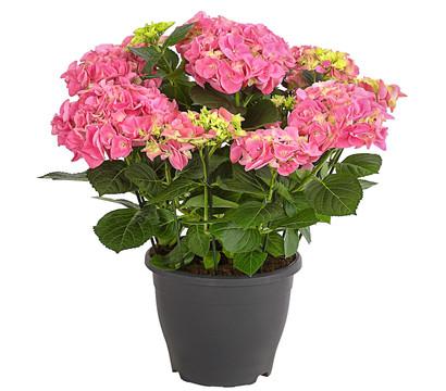 Großblumige Bauern-Hortensie