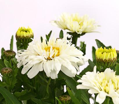 Großblumige Margerite, gefüllt