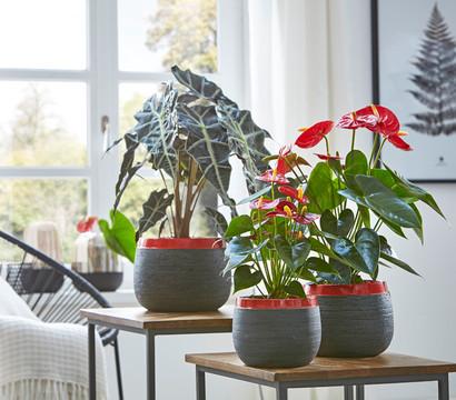 gro e flamingoblume anthurie rot dehner garten center. Black Bedroom Furniture Sets. Home Design Ideas