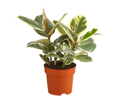Gummibaum - Ficus 'Tineke'