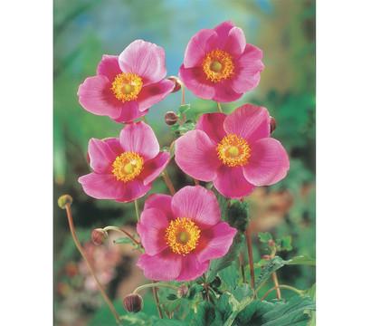 herbst anemone violett 9cm dehner garten center. Black Bedroom Furniture Sets. Home Design Ideas