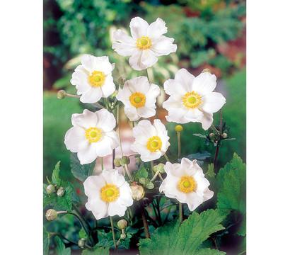 herbst anemone weiss 9cm dehner garten center. Black Bedroom Furniture Sets. Home Design Ideas