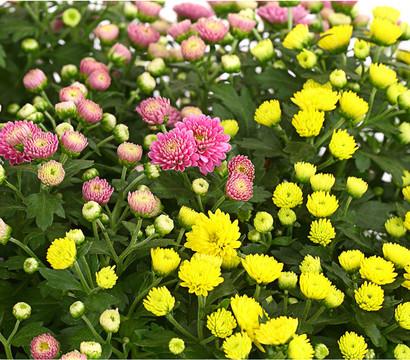 herbst chrysantheme 39 twin 39 im kasten dehner garten center. Black Bedroom Furniture Sets. Home Design Ideas