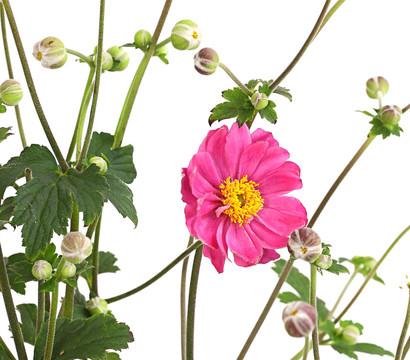 Herbst-Anemone 'Pamina'