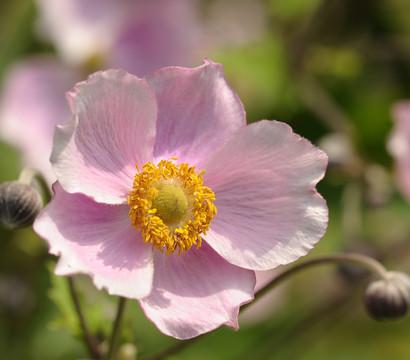 Herbst-Anemone, violett, 9cm