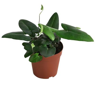 Herzfarn 'Arifolia'