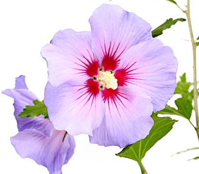 Hibiscus 'Blue Chiffon' - Garten-Eibisch