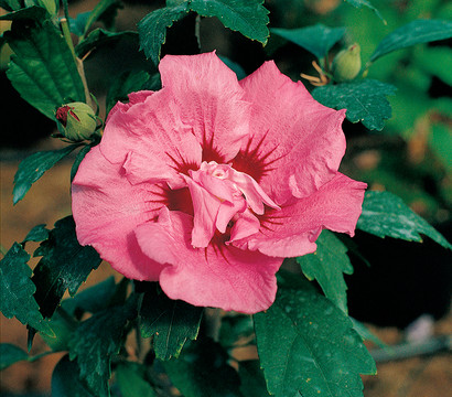 hibiscus 39 duc de brabant 39 garten eibisch dehner garten. Black Bedroom Furniture Sets. Home Design Ideas