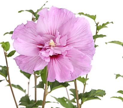 hibiscus 39 lavender chiffon 39 garten eibisch dehner. Black Bedroom Furniture Sets. Home Design Ideas