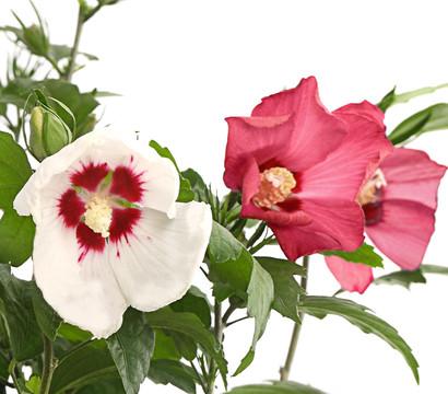 Hibiskus - Garten-Eibisch, rot-weiß