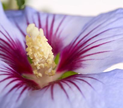 hibiskus garten eibisch st mmchen dehner garten center. Black Bedroom Furniture Sets. Home Design Ideas