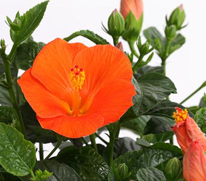 hibiskus pflege hibiskus als zimmerpflanze das ist bei. Black Bedroom Furniture Sets. Home Design Ideas