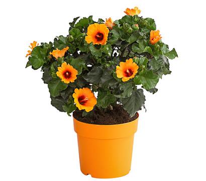 HibisQs®-Hibiskus 'Petit Orange'