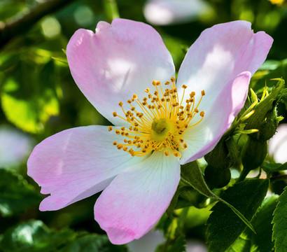 Hunds-Rose - Gemeine Hecken-Rose