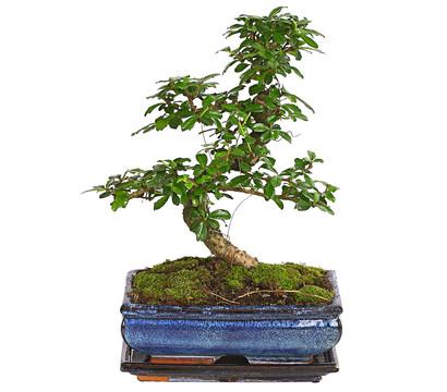 Bonsai - Fukientee, 10 Jahre