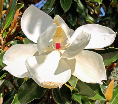 immergr ne magnolie 39 galissoniere 39 dehner garten center. Black Bedroom Furniture Sets. Home Design Ideas