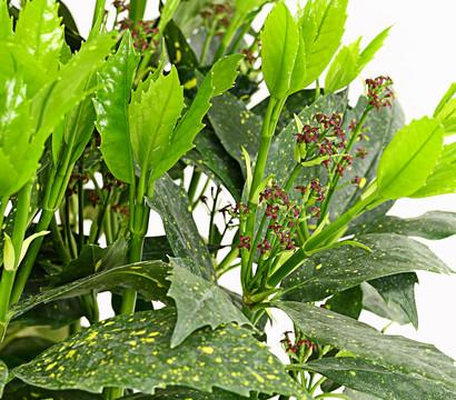 Japanische aukube 39 crotonifolia 39 dehner garten center for Japanische pflanzen